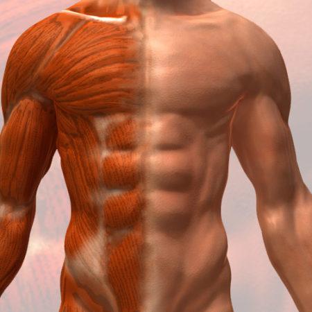 Anatomie & Physiologie pour le massage